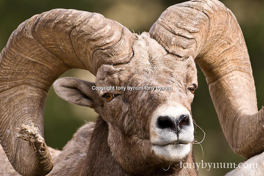 big wild rocky mountain big horn sheep