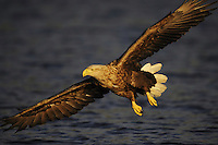 White-tailed Sea Eagle, Haliaeetus albicilla, Flatanger, Nord-Trondelag, Norway