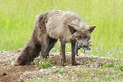 A red fox (Vulpes vulpes) emerges from a rabbit's den with a mouth full of newborn rabbits in San Juan Island National Historical Park on San Juan Island, Washington. Neither foxes nor rabbits are native to San Juan Island. European rabbits were introduced in the 1890s; foxes were introduced on various occasions in the 1900s to try to reduce the rabbit population. All of the island's foxes are red foxes, even though they may not actually have red fur.