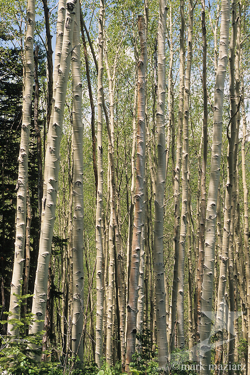 thick stand of aspen