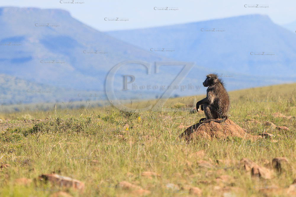 A baboon sentry stands guard on the Mountain Zebra National Park, South Africa<br />