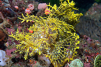 Yellow Lacey Scorpionfish, with white and blue spots