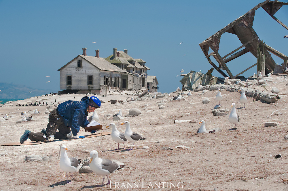 UCSC researcher and western gulls, Larus occidentalis, Ano Nuevo Island, Monterey Bay, California