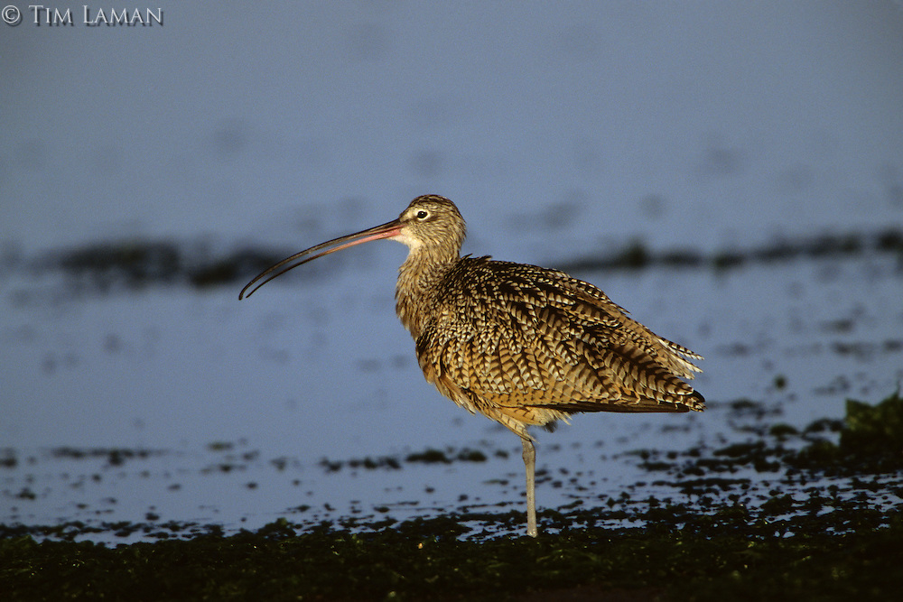 A Long-billed curlew (Numenius americanus) in California.