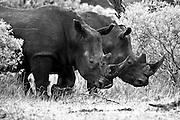 Rhinocerous, Kruger, Africa