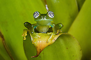 Glass Frog (Espadarana callistomma) Family Centrolenidae. CAPTIVE<br /> Choc&oacute; Region of NW ECUADOR. South America