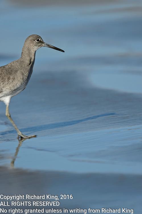 Bird photography on Morro Strand State Beach, CA