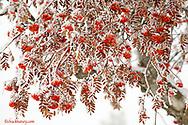 A hard hoar frost coats a mountain ash tree near Kalispell Montana