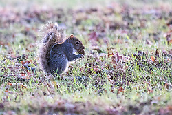 © Licensed to London News Pictures. 08/12/2017. London, UK.  A squirrel at sunrise on a cold winter morning in Bushy Park. Forecasters recorded subzero overnight temperatures as Storm Caroline hits Britain. Photo credit: Rob Pinney/LNP