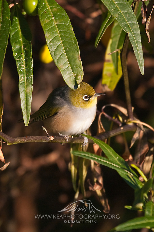 Silvereye, Sandy Point Reserve, New Zealand