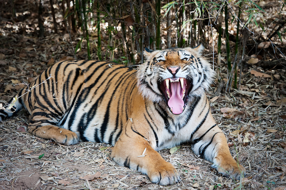 Tiger im Bandhavgarh Nationalpark in Indien