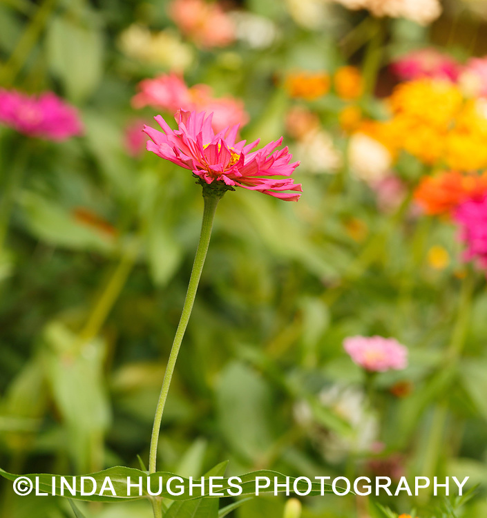 Blooming zinnias in a backyard garden