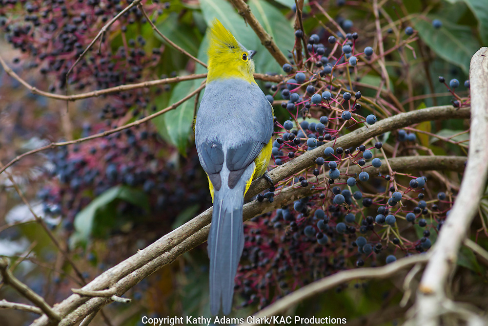 Long-tailed silky-flycatcher, Ptilogonys caudatus, perched in a berry bush, Talamanca Mountains, Costa Rica.