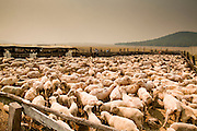 "wallowfire - 05 JUNE 2011 - GREER, AZ: Smoke from the Wallow Fire covers the Sheep Springs Sheep Co shearing camp on the Mogollon Rim northwest of Greer Sunday. Mark Pedersen (CQ), of Sheep Springs Sheep Co, said they drove about 2,000 sheep from Chandler up to their summer pastures near Greer. They were supposed to start shearing on Friday, but didn't start till Friday because of the Wallow Fire. They also run cattle on land southeast of the sheep pasture, closer to Greer. Pedersen said they were prepared to move both the cattle and the sheep if they had to. He said the biggest problem with the smoke was that it bothered the sheeps' lungs much the same way it bother people's lungs. The fire grew to more than 180,000 acres by Sunday with zero containment. A ""Type I"" incident command team has taken command of the fire.  ARIZONA REPUBLIC PHOTO BY JACK KURTZ"