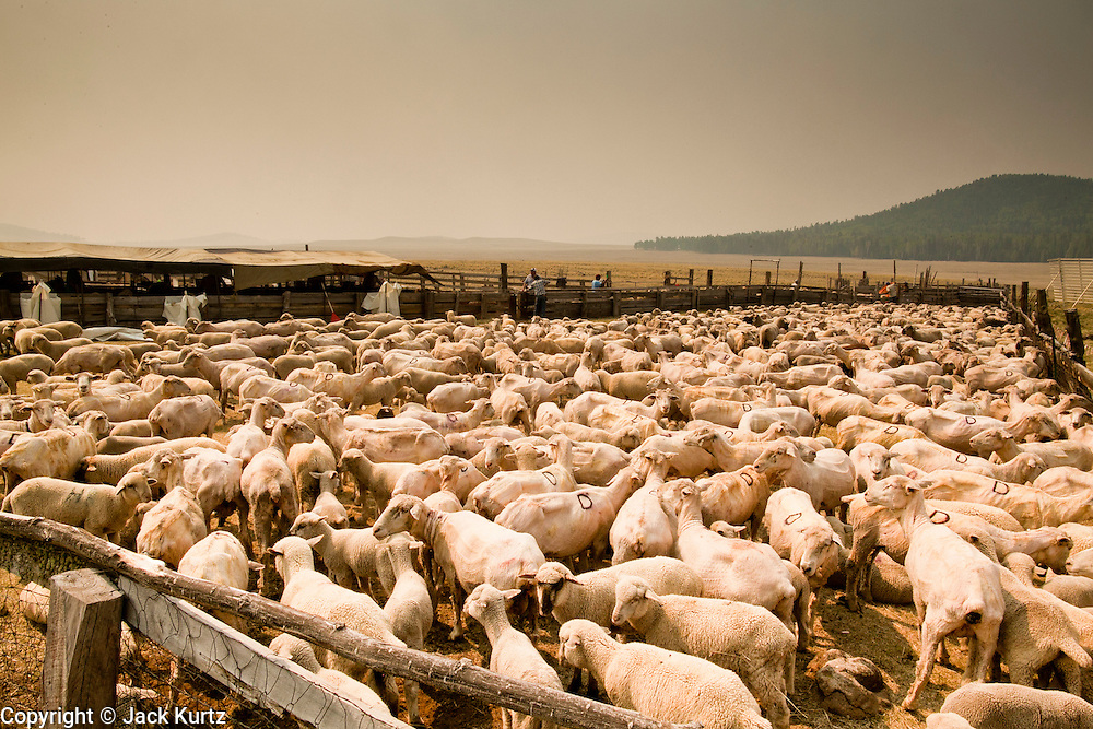 """wallowfire - 05 JUNE 2011 - GREER, AZ: Smoke from the Wallow Fire covers the Sheep Springs Sheep Co shearing camp on the Mogollon Rim northwest of Greer Sunday. Mark Pedersen (CQ), of Sheep Springs Sheep Co, said they drove about 2,000 sheep from Chandler up to their summer pastures near Greer. They were supposed to start shearing on Friday, but didn't start till Friday because of the Wallow Fire. They also run cattle on land southeast of the sheep pasture, closer to Greer. Pedersen said they were prepared to move both the cattle and the sheep if they had to. He said the biggest problem with the smoke was that it bothered the sheeps' lungs much the same way it bother people's lungs. The fire grew to more than 180,000 acres by Sunday with zero containment. A """"Type I"""" incident command team has taken command of the fire.  ARIZONA REPUBLIC PHOTO BY JACK KURTZ"""
