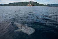 Whale Sharks of Cenderawasih Bay, MSY Damai I..Shot in Indonesia