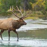 bull elk crossing small stream