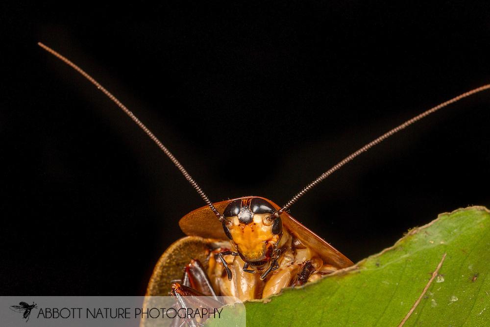 Peppered Cockroach (Archimandrita tesselata)<br /> BELIZE: Cayo District <br /> Ian Anderson's Caves Branch Lodge near Armenia<br /> 8-Aug-2015<br /> J.C. Abbott &amp; K.K. Abbott