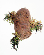 sprouting wrinkled potato