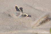 Australian flatback sea turtle hatchling, Natator depressus (c-r), emerges from nest, Crab Island, off Cape York Peninsula, Torres Strait, Queensland, Australia