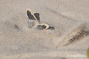 Australian flatback sea turtle hatchling, Natator depressus (c-r), emerges from nest, Crab Island, off Cape York Peninsula, Torres Strait, Queensland, Australia