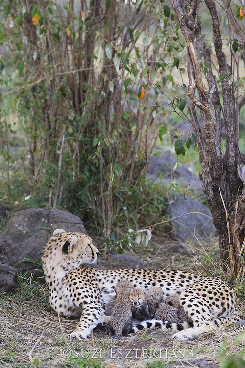 Cheetah<br /> Acinonyx jubatus<br /> Mother and 9 day old cubs in nest <br /> Maasai Mara Reserve, Kenya