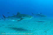 A Tiger Shark, Galeocerdo cuvier, swims offshore Jupiter, Florida accompanied  by Cobia and Remoras