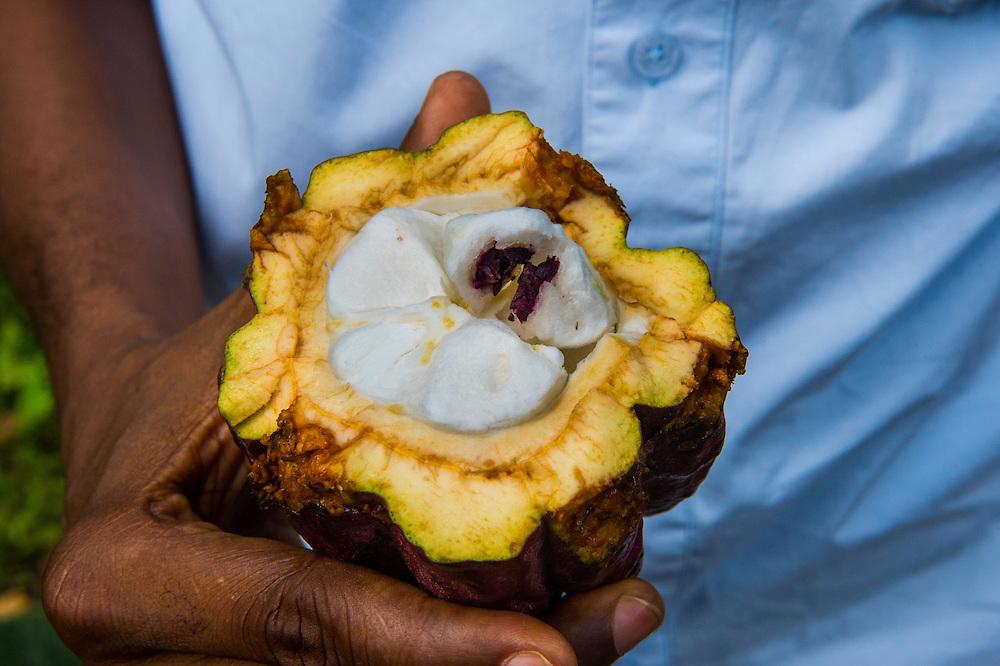 Man holding a open cocoa bean, also cacao bean ( Theobroma cacao), Plantation Roca Monte Cafe, Sao Tome, Sao Tome and Principe, Atlantic ocean