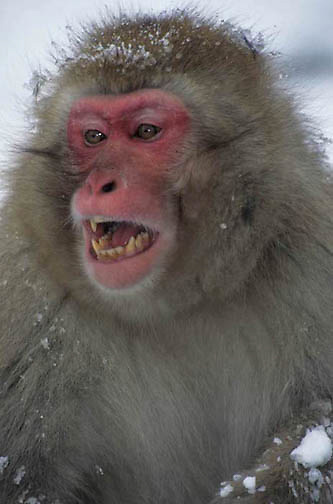 Snow Monkey or Japanese Red-faced Macaque, (Macaca fuscata) Yawning. Japan.
