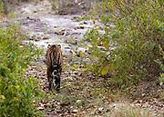 "The Bengal Tigress known as ""Chhoti Mada"" (born 2008) walking in Kana National Park (Mukki range), Madhya Pradesh, India. Photo from February 2019."