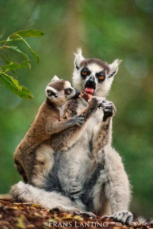 Ring-tailed lemur and baby licking tamarind fruit, Lemur catta, Berenty Reserve, Madagascar