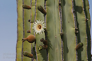 Cardon cactus flowers bloom amid already maturing fruit in mid April on Isla Santa Catalina, Baja, Mexico.