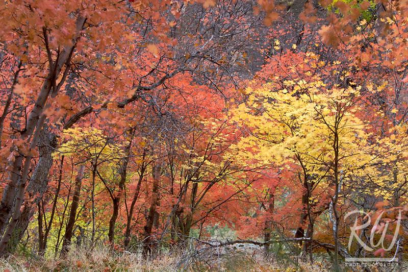 Fall Foliage Full Spectrum of Colors, Zion National Park, Utah