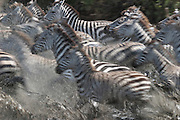 Zebras drinking from stream, Serengeti National Park, Tanzania. Panicked by predator.