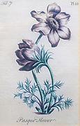 Hand colored botanical engraving Pulsatilla vulgaris (pasque flower, pasqueflower)