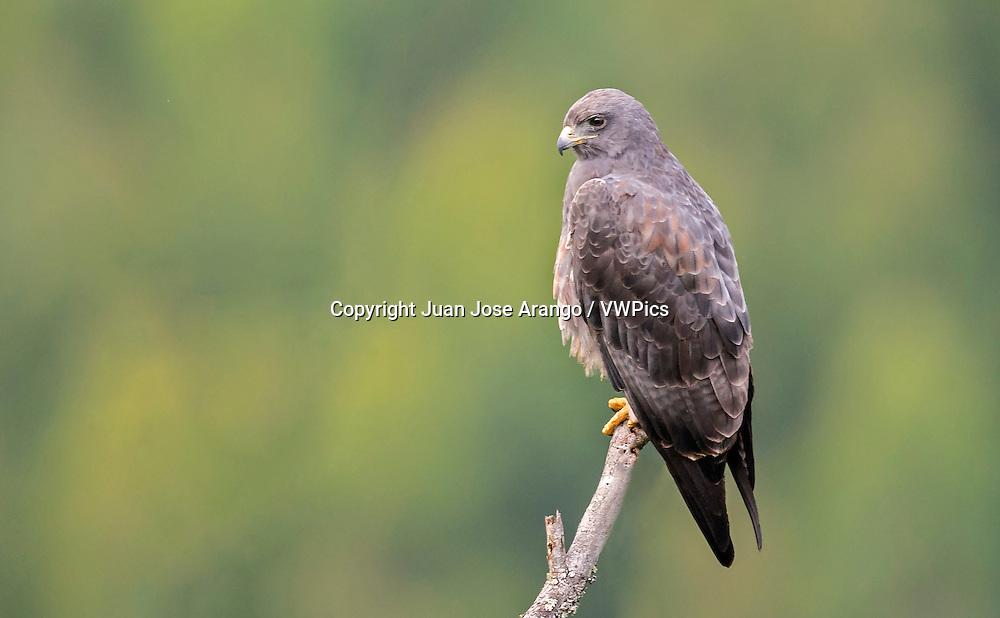 White-tailed Hawk (Geranoaetus albicaudatus), Jardin, Antioquia