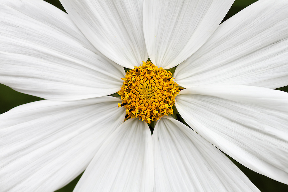 White Starburst<br /> The centre of this flower is like a set of fireworks ready to explode, surrounded by beautiful white petals.