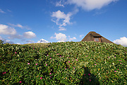 Sylt, Germany. Hörnum. Traditional houses with Reetdächer (reed roofs). Sylter Roses.