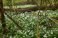 Ancient oak wood with Ramsons in spring. Aughton Wood, River Lune, Lancashire