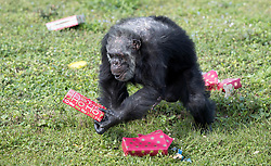 December 20, 2017 - Loxahatchee, Florida, U.S. - Cooper picks up a gift. Lion Country Safari's 16 chimpanzees were treated to gifts during the 33rd annual Christmas with the Chimps in Loxahatchee, Florida on December 20, 2017.  This years Christmas with the Chimps was dedicated to Little Mama the 79-year-old chimpanzee who passed away in November. The park's chimpanzees received gifts including edible treats, stuffed animals, clothes and enrichment-themed activities. ''Chimpanzees are extremely intelligent. They recognize that the gathering crowd of guests signals that Santa is on his way. They also read human emotions very well, and react to the excitement and anticipation of our guests. The whole day is really very enriching for them,'' says Primate Curator Tina Cloutier Barbour. Over the 33 years, it has developed into a community event and this year featured the Cypress Trails Elementary School's ''Singing Lions'' chorus. This is the only event where guests are permitted out of their vehicles. (Credit Image: © Allen Eyestone/The Palm Beach Post via ZUMA Wire)