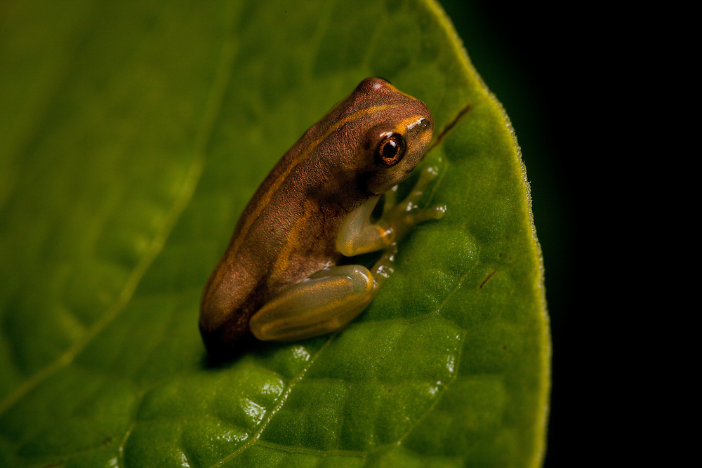 Hispaniolan Yellow Treefrog, Osteopilus pulchrilineatus, an Endangered treefrog found on the Massif de la Hotte, Haiti