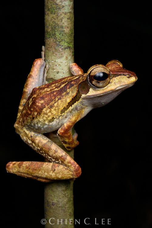 Dark-eared Tree Frog (Polypedates macrotis). Sarawak, Malaysia.