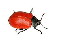 Poplar Leaf Beetle - Chrysomela populi