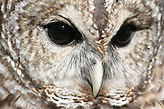 Closeup of the face of a Barred Owl.