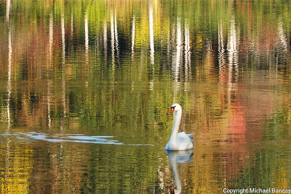 Swan swimming among the fall colors on a small lake