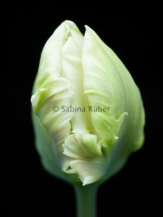 Tulipa 'White Lizard' - parrot tulip