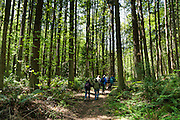Hikers walk under tall forest tree trunks on Vendovi Island, Skagit County, Washington, USA. The Island was named after a Fijian High Chief Ro Veidovi who was brought to North America by the 1841 Wilkes Expedition. The San Juan Preservation Trust, a land trust for conservation in the San Juan Islands, purchased the island in December 2010 from the family of John Fluke Sr. Vendovi Island lies across Samish Bay from mainland Skagit County, between Guemes Island and Lummi Island, in the Salish Sea.