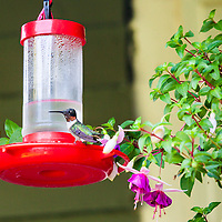 A male Ruby-throated Hummingbird (Archilochus colubris) at a hummingbird feeder surrounded by fuschia flowers.