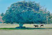 Horses graze near a large tree in Hawaii