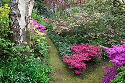Pathways in the woodland garden at Greencombe with rhododendrons and azaleas including R. luteum and R. obtusum. Lily-of-the-valley in the foreground,  Convallaria majalis